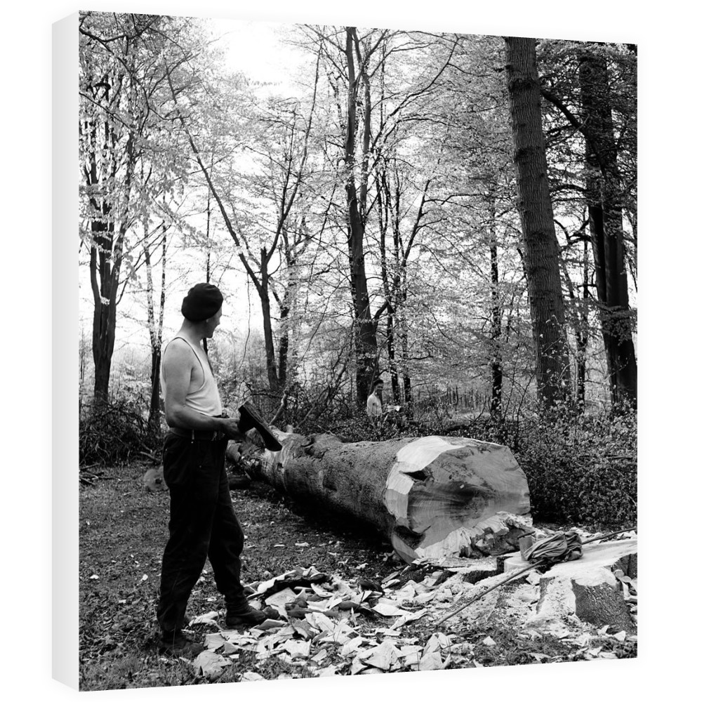 Men chopping a tree down in Ashridge.. Canvas
