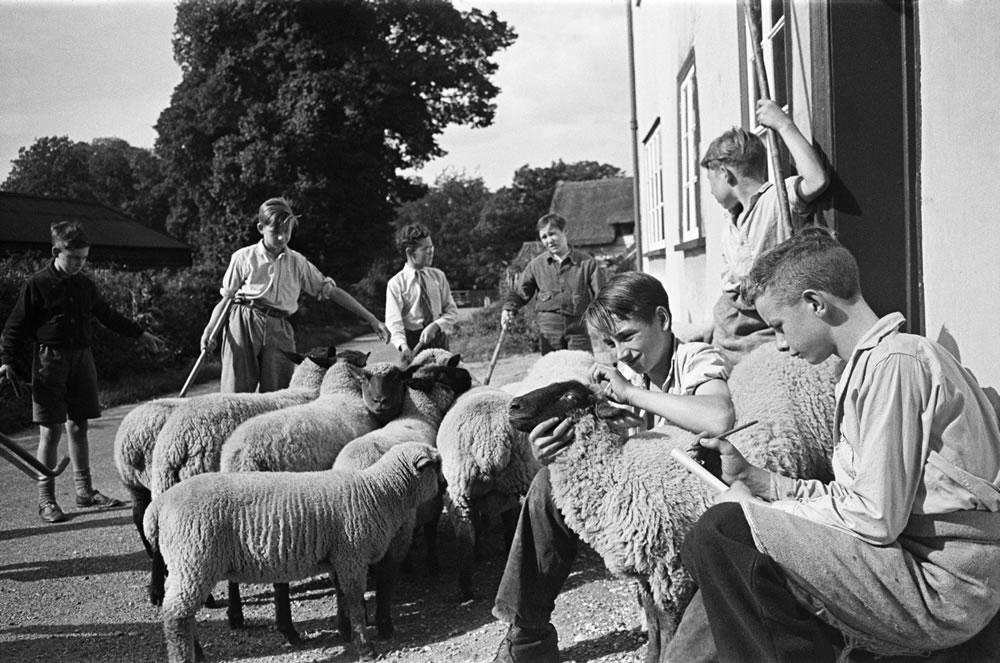 A flock of sheep at Ashwell village.. Art Print