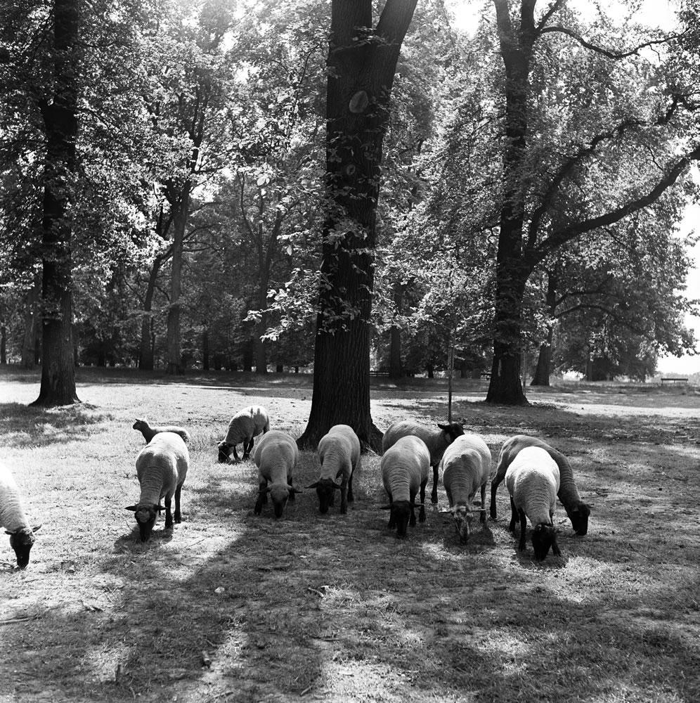 Sheep grazing in Hyde Park, London. 2nd August 1954. Art Print